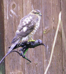 Female Sparrowhawk at Kielder