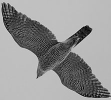 Goshawk at Kielder